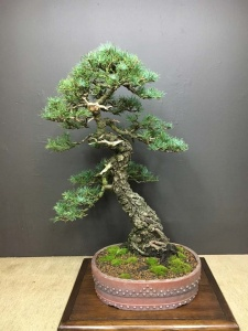 Green Atlas Cedar