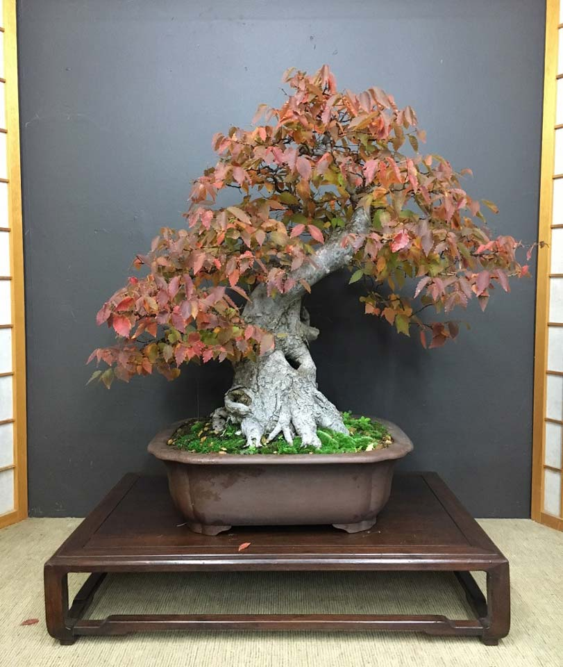 This Zelkova is a legacy tree once owned by Mark Lesley.