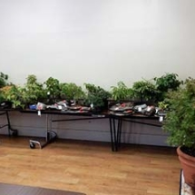 A portion of the bonsai and related items up for auction.