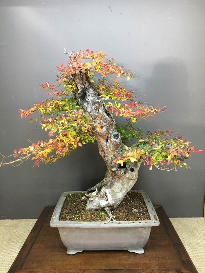 This Chinese Elm is a legacy tree once owned by Mark Lesley.